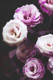 Rosas cor-de-rosa e roxas bonitas no fundo escuro fotografia de stock