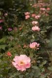 Rosas cor-de-rosa em seguido Fotos de Stock