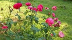 Rosas cor-de-rosa em um jardim imagem de stock
