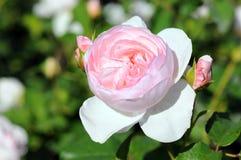 Rosas cor-de-rosa em uma florescência de jardinagem Foto de Stock