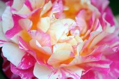 Rosas cor-de-rosa em uma florescência de jardinagem Fotos de Stock Royalty Free