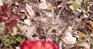 Rosas cor-de-rosa escuras em um jardim Florescer aumentou no rosegarden em um dia ensolarado vídeos de arquivo