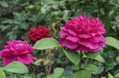 Rosas cor-de-rosa Rosas cor-de-rosa de florescência no jardim da cidade fotos de stock royalty free