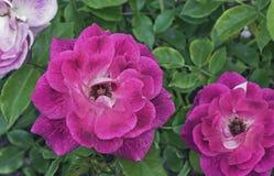 Rosas cor-de-rosa Rosas cor-de-rosa de florescência no jardim da cidade fotografia de stock royalty free