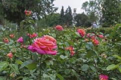 Rosas cor-de-rosa Rosas cor-de-rosa de florescência no jardim da cidade imagens de stock royalty free