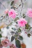 Rosas cor-de-rosa de florescência sob a neve, vintage, cores pastel foto de stock