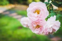 Rosas cor-de-rosa, florescendo no jardim, fundo verde Fotografia de Stock