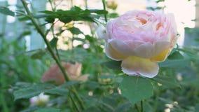 Rosas cor-de-rosa inglesas com as folhas verdes no jardim tradicional video estoque
