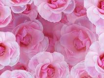Rosas cor-de-rosa macias Fotografia de Stock Royalty Free