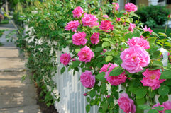 Rosas cor-de-rosa na cerca branca foto de stock royalty free