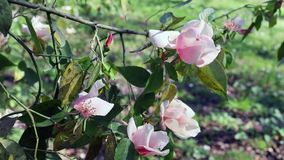 Rosas cor-de-rosa na flor video estoque