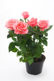 Rosas cor-de-rosa no flowerpot Foto de Stock Royalty Free