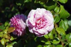 Rosas cor-de-rosa no folhas verdes Fotografia de Stock