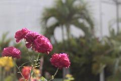 Rosas cor-de-rosa no jardim Fotografia de Stock