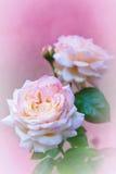 Rosas cor-de-rosa no rosa fotografia de stock