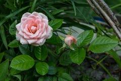 Rosas cor-de-rosa Ramalhete das rosas Rosa e botão cor-de-rosa fotografia de stock royalty free
