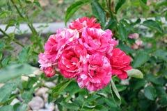 Rosas cor-de-rosa Rose Bouquet Portrait Rosa Home que jardina e foto conservada em estoque da plantação fotos de stock royalty free
