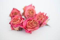 Rosas cor-de-rosa secadas fotografia de stock