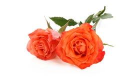 Rosas corais no branco imagens de stock royalty free