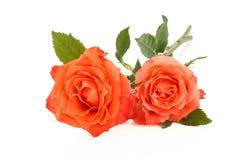Rosas corais no branco fotos de stock