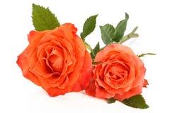 Rosas corais no branco imagem de stock