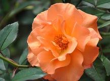 Rosas da flor das cores Imagem de Stock