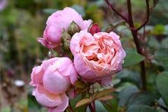 Rosas da herança imagem de stock royalty free