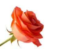 Rosas da laranja das pétalas Imagem de Stock Royalty Free