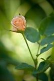 Rosas da mola Fotografia de Stock Royalty Free
