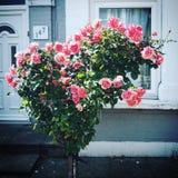 Rosas dadas forma coração foto de stock