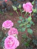 Rosas das rosas toda a maneira fotografia de stock