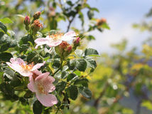 Rosas de arbusto de florecimiento Imagen de archivo