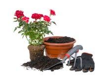 Rosas de arbusto e ferramentas de jardim Foto de Stock Royalty Free