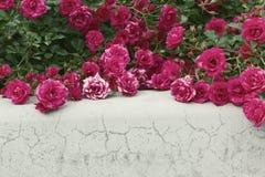 Rosas de arbusto sobre fondo gris Foco selectivo, imagen entonada, efecto de la película Fotografía de archivo libre de regalías