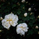 rosas de blancos Imagen de archivo libre de regalías