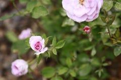 Rosas de brotamento cor-de-rosa na folha verde luxúria Fotografia de Stock Royalty Free