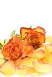 Rosas de chá e pétalas cor-de-rosa Fotos de Stock Royalty Free