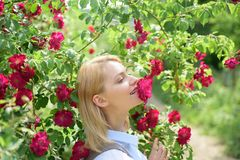 Rosas de cheiro da beleza loura Mulher 'sexy' em florescer o arbusto cor-de-rosa rosado O cheiro bonito da mulher aumentou flores foto de stock royalty free