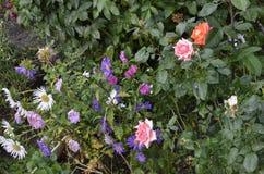 Rosas de cores diferentes em um dia de verão imagens de stock royalty free