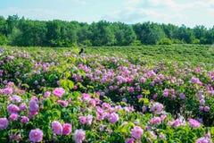 Rosas de damasco hermosas en rosaleda imágenes de archivo libres de regalías