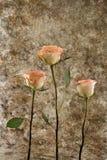 Rosas de encontro a uma parede velha Fotos de Stock Royalty Free
