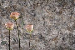 Rosas de encontro a uma parede velha Fotos de Stock