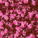 Rosas de entrelazamiento Imágenes de archivo libres de regalías