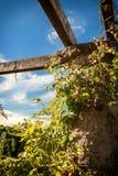 Rosas de escalada em uma parede de pedra velha fotografia de stock