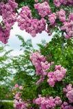 Rosas de florescência Fotografia de Stock Royalty Free
