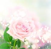 Rosas de florescência cor-de-rosa Foto de Stock