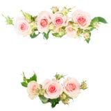 Rosas de florescência da violeta Fotografia de Stock