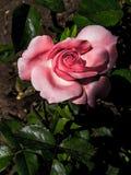 Rosas de florescência Flor cor-de-rosa fotografia de stock royalty free