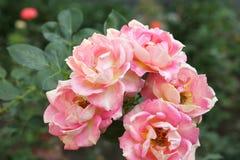Rosas de florescência muito bonitas no jardim Fotos de Stock