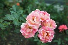 Rosas de florescência muito bonitas no jardim Imagem de Stock